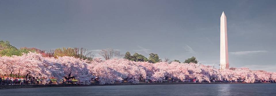 The Upper Class - Marvel at the famed Cherry Blossoms in Washington, DC